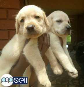 Heavy bone Labrador retriever off-white colour puppies for sale.