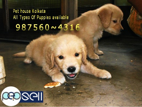 Show Quality GERMAN SHEPHERD Dogs And Puppies for sale At BHUBANESWAR