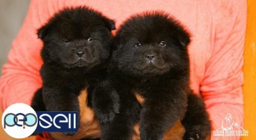 Chow Chow puppies for sale in chennai 9840187666 | Chennai