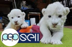 Well Tamed White Tiger Cubs , Cheetah Cubs ,panther Babies , Lion Cubs And Sheeps 0