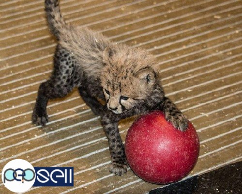 Well Tamed White Tiger Cubs , Cheetah Cubs ,panther Babies , Lion Cubs And Sheeps 1
