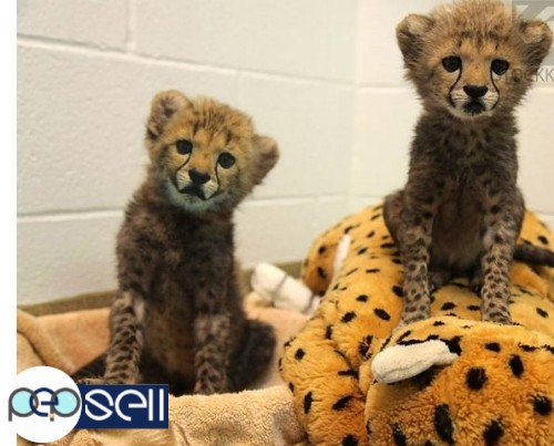 Well Tamed White Tiger Cubs , Cheetah Cubs ,panther Babies , Lion Cubs And Sheeps 2