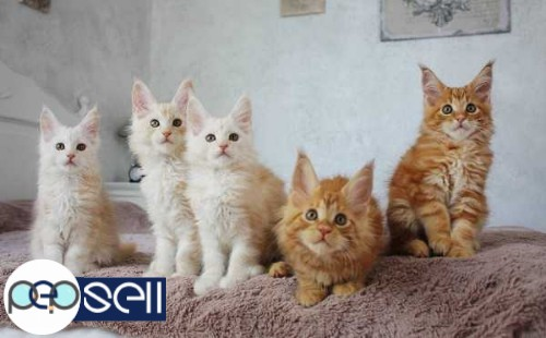 maine coon kittens for sale 0