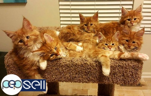 maine coon kittens for sale 1