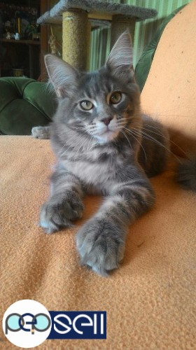 maine coon kittens for sale 3