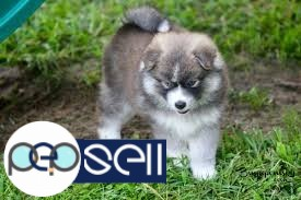 Pomsky puppies ready to be re-home to lovely home. 0