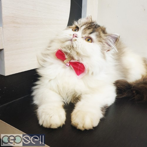 Persian cat kitten available for sale 0