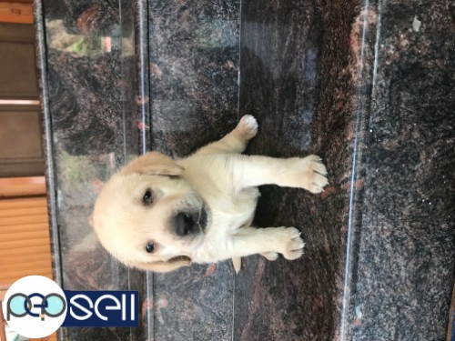 Labrador puppy for sale at Edappally 1