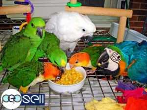Two African Grey parrots for sale   Dubai free classifieds