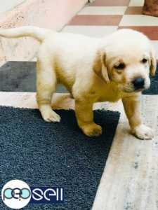 Labrador puppy for sale at Edappally