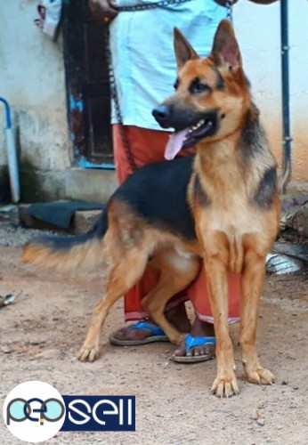 German Shepherd Male For Sale Chengannur Free Classifieds