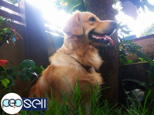 Golden Retriever Puppy For Sale Thrissur Free Classifieds