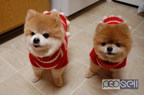 Toy Pom Looking Boodog Pups For
