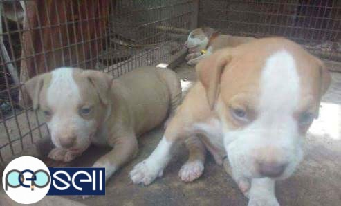 Pitbull Puppies for sale at Kollam