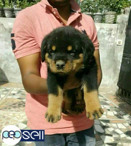 Rottweiler Puppies For Sale In Vaikom Vaikom Free