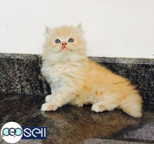 Persian cat 2 kittens for sale