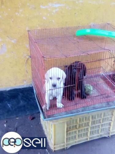 Good quality Labrador puppies for sale in Kochi | Kochi free