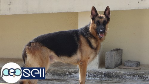 Short Haired German Shepherd For Sale Edappally Free Classifieds