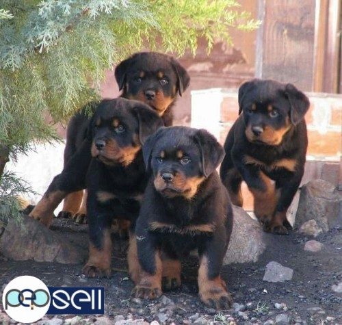Import Lineage Rottweiler Puppies For Sale At Cochin