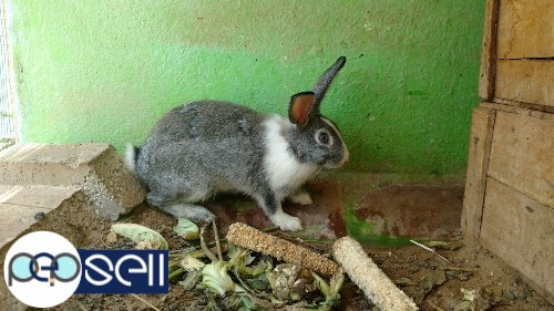 Rabbit for sale in chennai 0