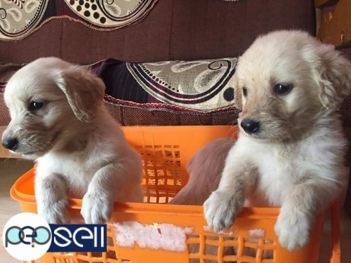 Golden Retriever Female Puppies For Sale Thrissur Free Classifieds