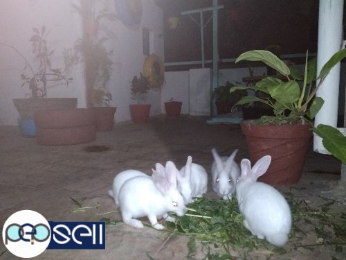 1.5 months to 3 months old rabbit babies for sale in Nagarabhavi, Bangalore 0