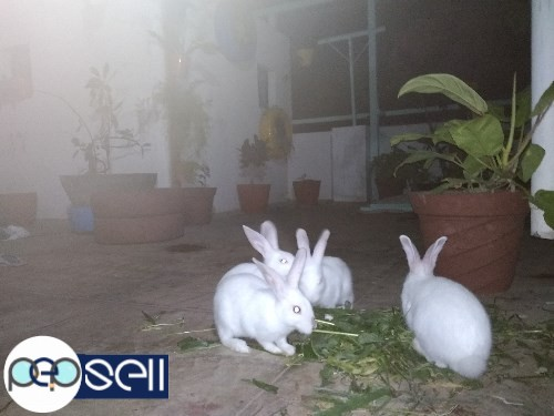 1.5 months to 3 months old rabbit babies for sale in Nagarabhavi, Bangalore 1