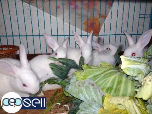 1.5 months to 3 months old rabbit babies for sale in Nagarabhavi, Bangalore 2
