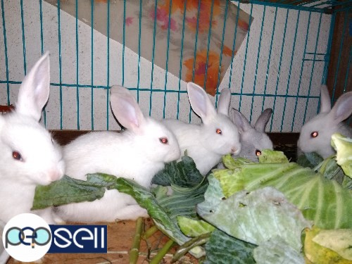1.5 months to 3 months old rabbit babies for sale in Nagarabhavi, Bangalore 3