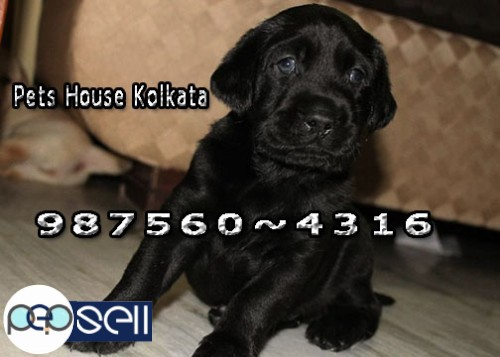 LABRADOR Dogs And Puppies for sale At ~ HOOGHLY
