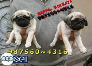 golden retriever puppies for sale in Coimbatore | Coimbatore