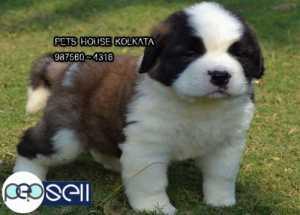 KCI Registered Top SAINT BERNARD Dog Puppies for sale at AIZAWL