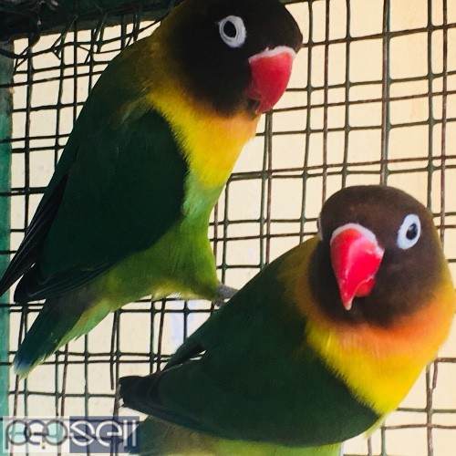 Black mask yellow chested African love bird breeding pair for sale