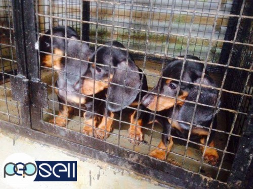 Dash Puppies Available At Kottayam Kottayam Free Classifieds
