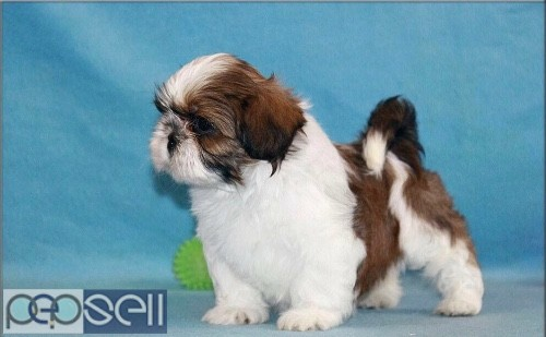 Shih Tzu Puppies For Sale In Chennai 9841585849 Chennai Free Classifieds