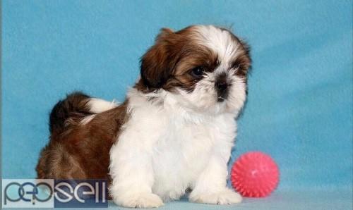 Shih Tzu Puppies For Sale In Chennai 9841585849 Chennai Free