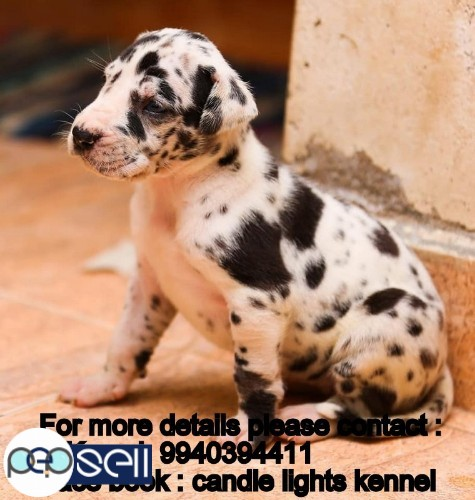 harlequin great dane puppies for sale in chennai 9940394411