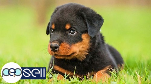 Import Lineage Rottweiler Puppies For Sale Edappally Free Classifieds