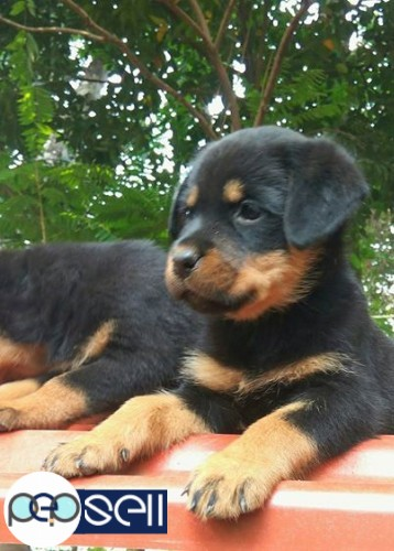 Rottweiler puppies for sale at Kochi