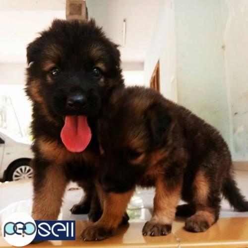 Good Quality German Shepherd Female Puppy For Sale Alappuzha Free