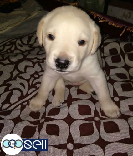 Lab puppies for sale at Banglore