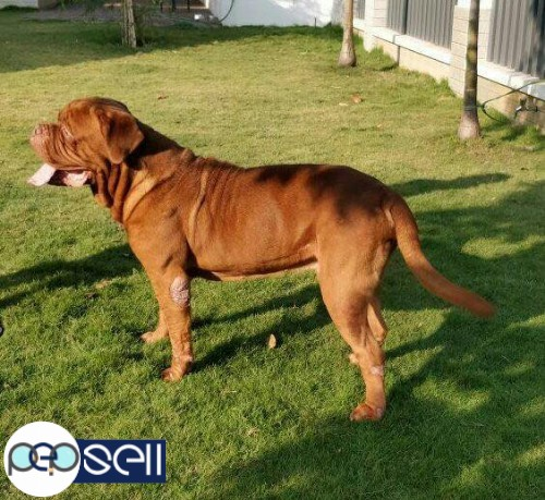 French Mastiff For Sale At Banglore Bengaluru Free Classifieds