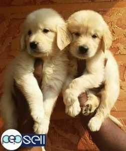 Golden Retriever puppy for sale at Ernakulam