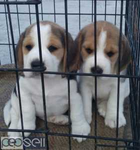 Perfect markings beagle male and female puppies available
