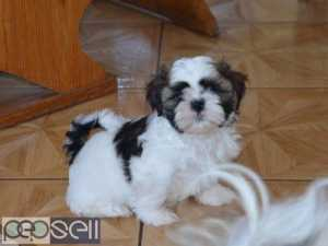 Adorable quality show breed shihtzu puppies available in Bangalore