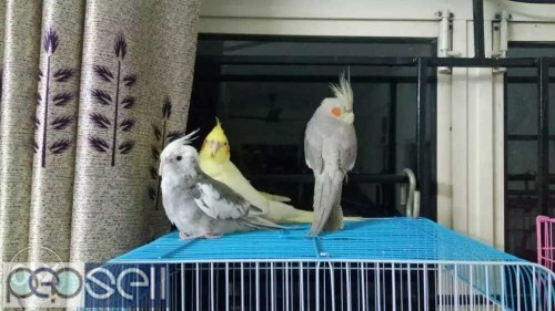Love Birds Cage Price In Chennai