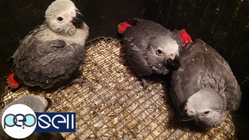 African Grey Parrots Babies,Adult and Bonded Pairs for sale and for adoption