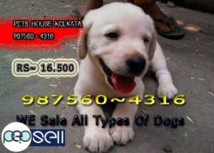 KCI Registered Top Quality LABRADOR  Ready to sale At ~ SILIGURI