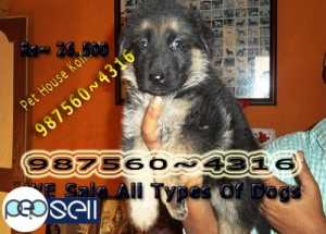 KCI Registered Top Quality GERMAN SHEPHERD Dogs Available At ~ KOLKATA