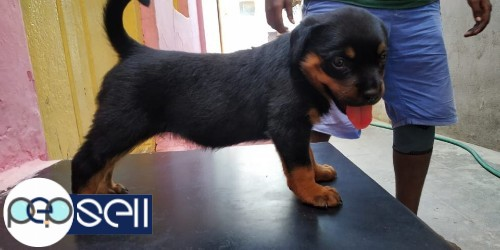 Female Rottweiler available in Coimbatore 0